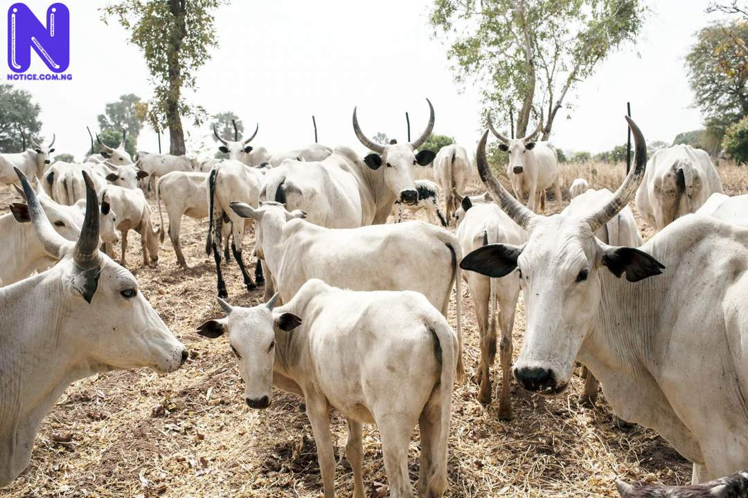 Bayelsa Government impounds 34 cows - Open Grazing COWS